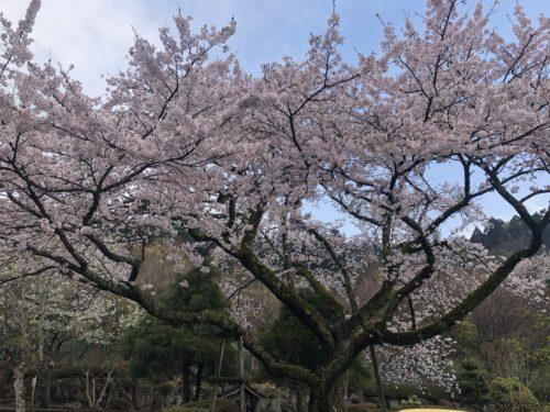 時之栖 桜