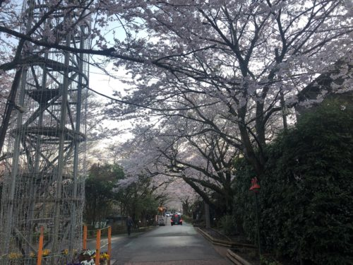 時之栖の桜並木